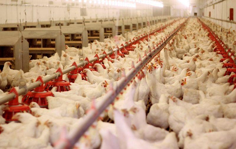 افزایش ۱۱ درصدی جوجه ریزی در مرغداریهای هرمزگان