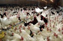 تثبیت قیمت مرغ  در بازار