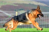 استفاده از سگ های آموزش دیده در گشت های محیط بانی پناهگاه حیات وحش قمیشلو