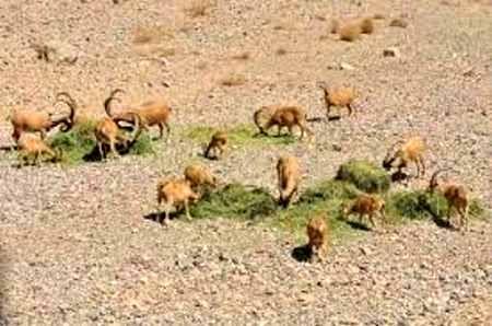 دو تُن علوفه نذر وحوش پناهگاه کلاه قاضی اصفهان شد