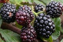 شاتوت، میوه معجزه گر برای درمان بیماری ها/ از خواص شگفت انگیز شاتوت تا مضرات آن