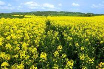 برداشت کلزا از مزارع آذربایجان غربی آغاز شد