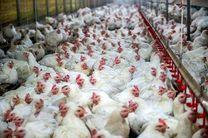 ۶۰ درصد دان مرغداری در بازار سیاه تامین می شود / صادرات گوشت مرغ به عراق و افغانسان زیان دارد