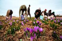 بیش از 10 هکتار از اراضی کشاورزی سلسله به کاشت زعفران اختصاص یافته است