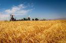 کشت بیش از ۳۴۵ هزار هکتار گندم در استان گلستان