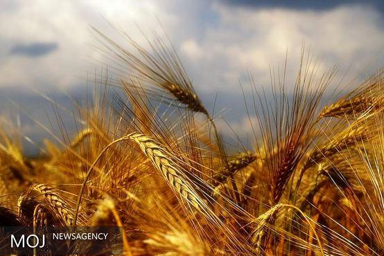 قیمت گندم در بازارهای جهانی کاهش یافت