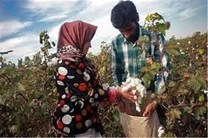 رکورد سطح کشت و تولید پنبه در پارس آباد