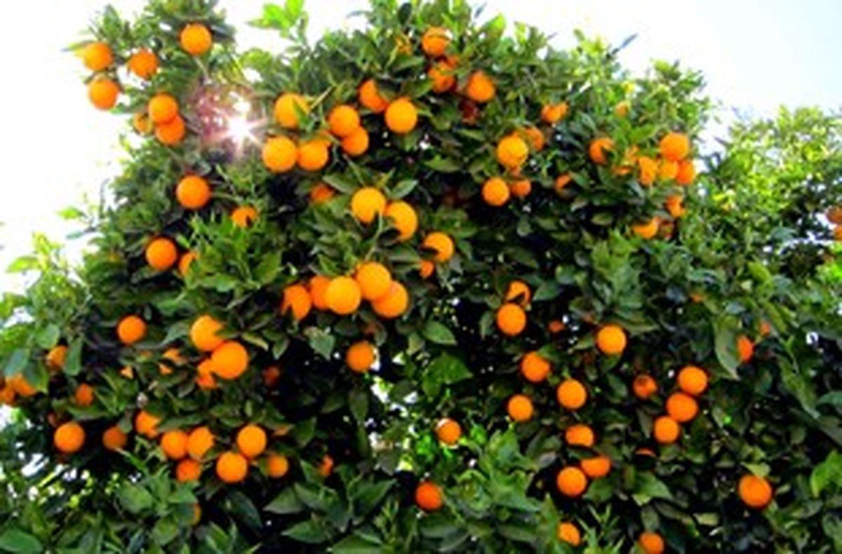 صادرات روزانه ۱۰ کانتینر مرکبات از مازندران