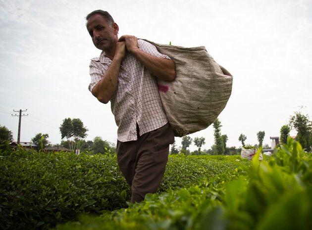 برداشت بیش از 82هزار و 509تن برگ سبز چای/پرداخت مطالبات چایکاران گیلان و مازندران