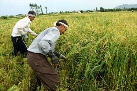 آیا واردات برنج زمان برداشت ممنوع میشود؟