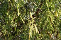 جمع آوری بذر درختان جنگلی در شهرستان رودان