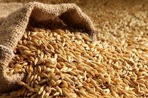 هدفگذاری تولید بیش از 13 میلیون تن گندم در برنامه ششم
