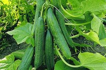 پیش بینی برداشت بیش از 3 هزار تن خیار از مزارع فریدن