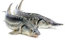 تولید 600 تن ماهی گرمابی و خاویاری در هرمزگان