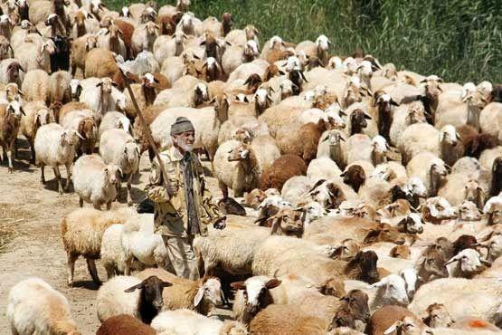 خروج دام مولد از استان اردبیل ممنوع است