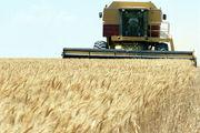 400 دستگاه کمباین در مزارع گندم مشغول فعالیت می باشند
