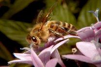 مبارزه با آفت ساقه خوار برنج توسط زنبور تریکوگراما