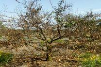 درختانی که هنوز بعد از یک ماه لباس شکوفهای به تن نکردهاند/ خواب ابدی برای درختان مرکبات مازندران
