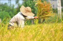 برداشت برنج از شالیزارهای آستارا آغاز شد