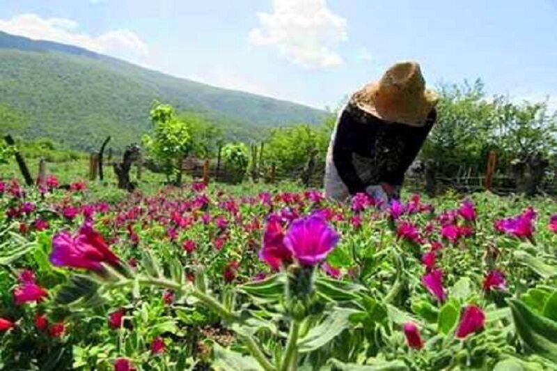 پیش بینی برداشت بیش از 2 هزار کیلو گل گاو زبان در چادگان