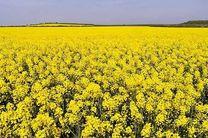 ایلام چهارمین استان کشور در تولید کلزا در کشور است/ برداشت کلزا در دهلران آغاز شد