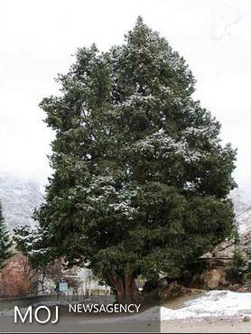 ثبت ۷ درخت کهنسال در فهرست میراثطبیعی ملی