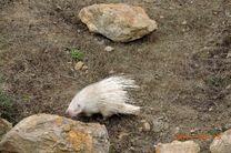 حیوان گیر افتاده در باغات رودبار در طبیعت رهاسازی شد
