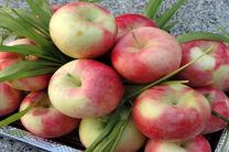 برداشت سیب گلاب از باغات استان اصفهان آغاز شد