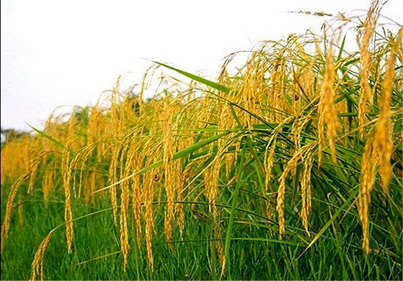 افزایش درآمد برنج کاران یکی از سیاست های مهم سازمان جهاد کشاورزی گیلان است
