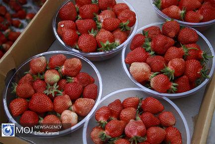 برداشت توت فرنگی از باغات سنندج