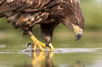 یک عقاب طلایی  در منطقه حفاظت شده قمصر وبرزک کاشان رهاسازی شد
