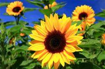 ۳۲۰۰ تن آفتابگردان در گلستان تولید میشود