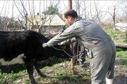 واکسیناسیون 16 هزار راس گاو و گوساله بر علیه بیماری تب برفکی در ماسال
