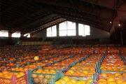 تغییرات قیمت ارز  باعث گرانی موز شده است/تولید ۵ میلیون تن پرتقال