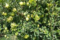 نوسانات نرخ ارز به سیب درختی هم رحم نکرد!/صادرات سیب دلیل افزایش قیمت بازار داخلی