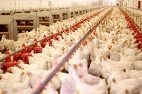 تورم تولیدهکننده مرغداریها ۲ رقمی شد