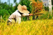 برداشت برنج از شالیزارهای گیلان تمام شد