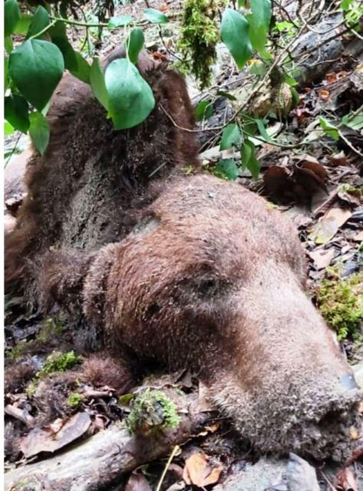 یک قلاده خرس قهو ه ای در بهشهر تلف شد