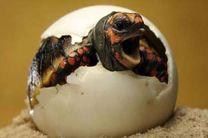 تخمگذاری لاکپشت پوزه عقابی آغاز شد