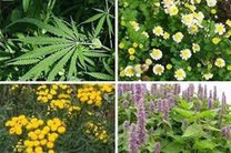 صادرات بیش از 13 میلیون دلار انواع گیاهان دارویی از استان اصفهان