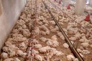 قطعی برق در بردسکن، باعث تلف شدن ۴ هزار مرغ گوشتی شد