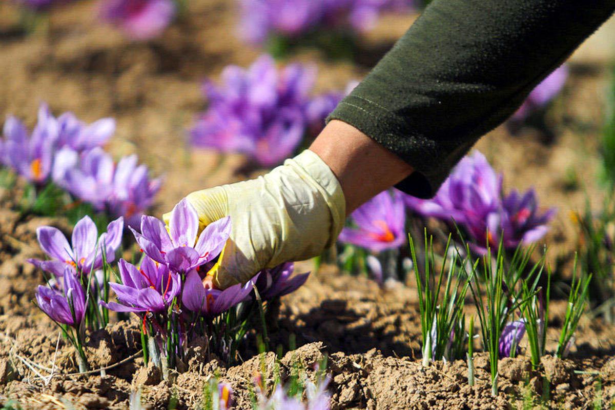 پیش بینی برداشت بیش از 650 کیلو زعفران از مزارع شهرستان کاشان