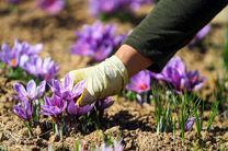 پیش بینی برداشت 70 کیلو زعفران در خوانسار