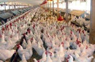 نارضایتی شهروندان گلستانی از روند صعودی قیمت مرغ در استان