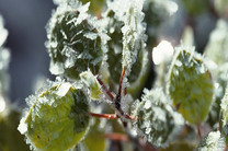 643  میلیارد تومان خسارت سرمازدگی به محصولات کشاورزی شهرستان کهنوج