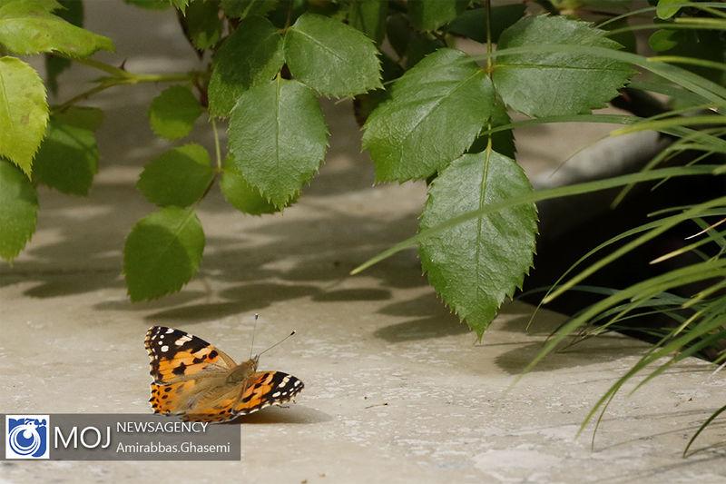 تغییرات اقلیمی یزد جمعیت پروانه ها را افزایش داد