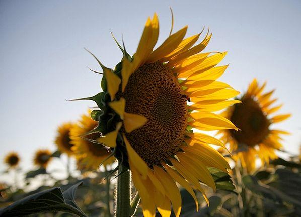 پیش بینی برداشت 800 تن آفتابگردان از مزارع اردستان