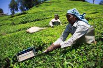 تولید بزرگترین مشتری چای وارداتی ایران به یک پنجم کاهش یافت