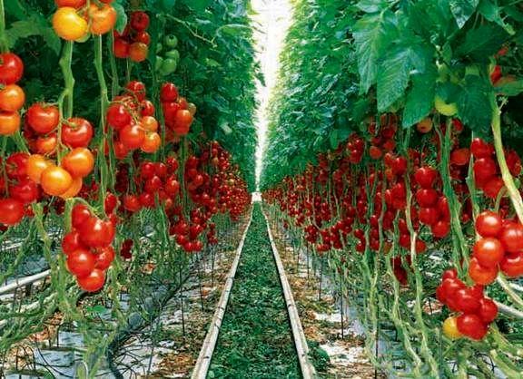 تولید سالانه بیش از ۱۳ هزار تن محصولات گلخانهای در شهرضا