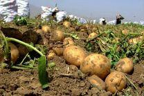 آغاز برداشت سیب زمینی در حاجی آباد